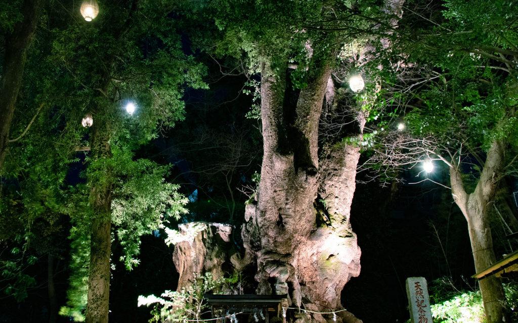 ライトアップされた来宮神社の大楠