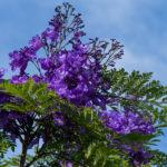 【熱海は花の街】ジャカランダが咲き始めています