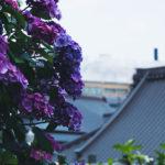 【熱海は花の街】紫陽花の咲くお寺、誓欣院さんで紫陽花鑑賞してきました。