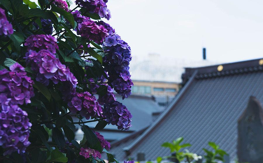 紫陽花と誓欣院