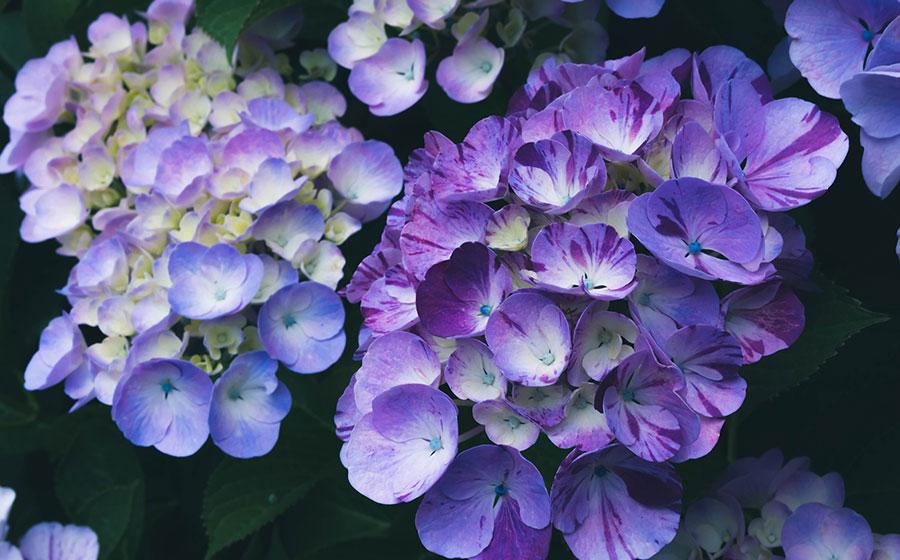 紫陽花 斑入り
