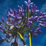 【熱海は花の街】咲き乱れる紫の花の正体とは?